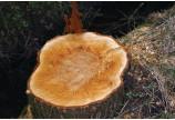 Buzau: peste 450 metri cubi de busteni, in valoare de peste 1,53 miliarde lei vechi, exploatati ilegal