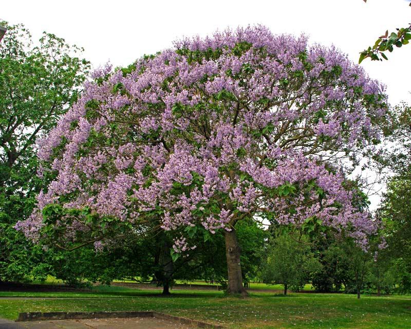 Paulownia - arborele cu cea mai rapida crestere din lume