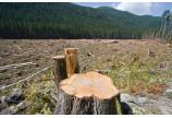 Arbori taiati din Parcul Natural Putna, din cauza marcarii eronate