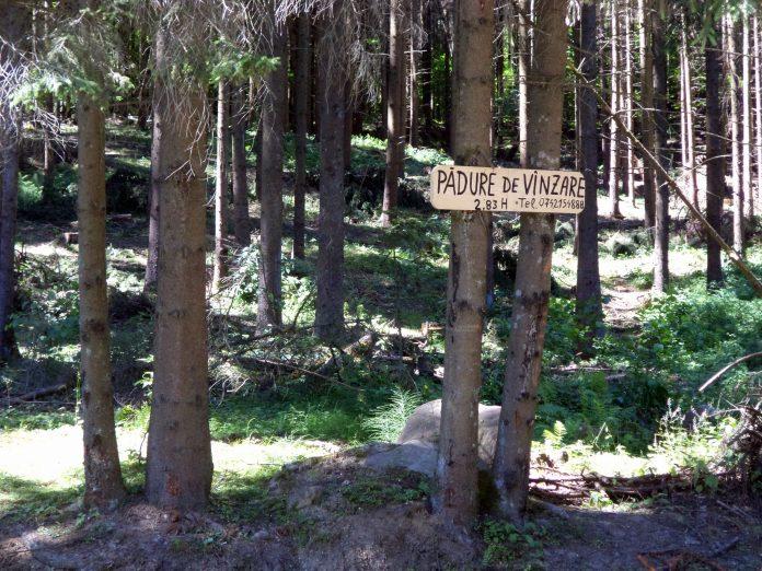 Maramuresul ramane si anul acesta in topul taierilor ilegale